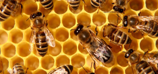 itralian honey bee business